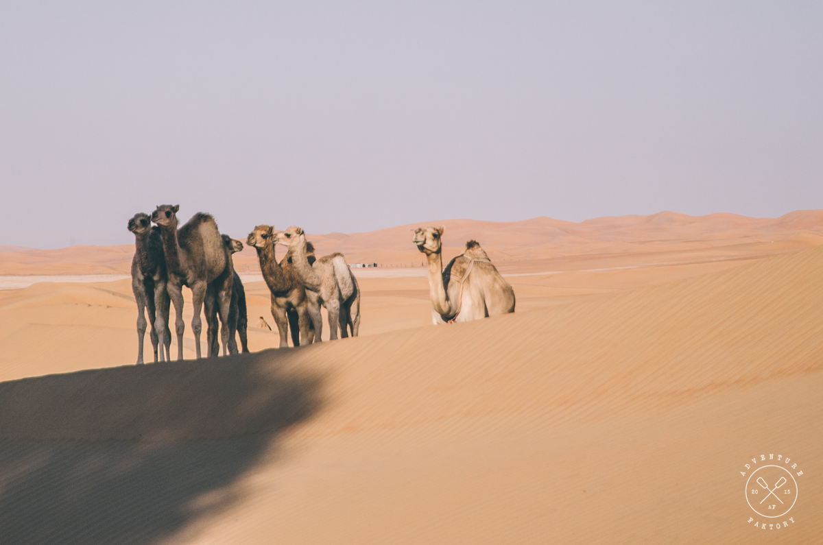 The camels were very curious. I think we were in their morning spot...