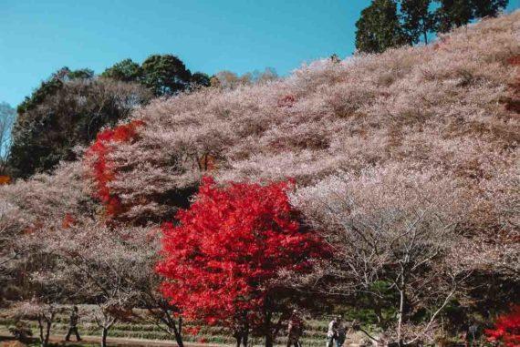 Japan Winter Cherry Blossom